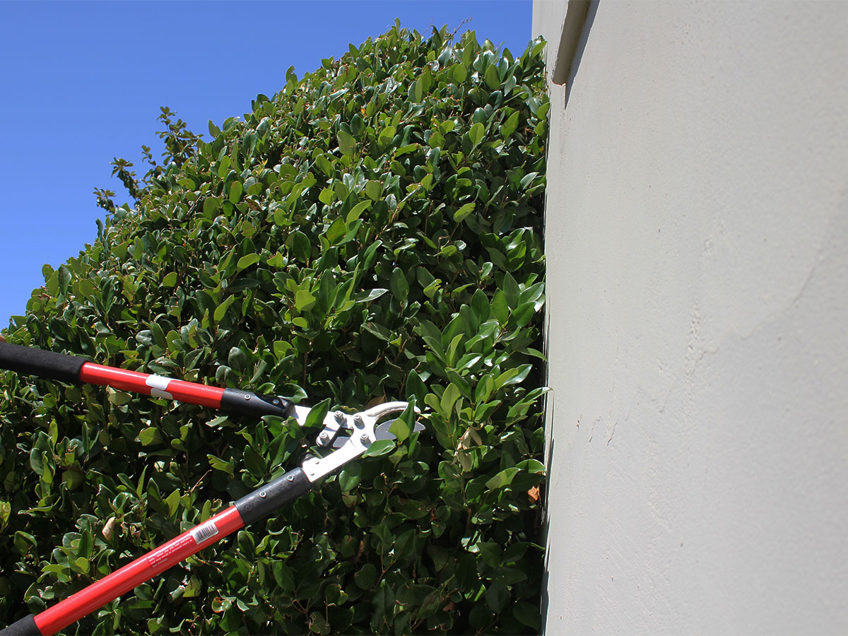 Trim shrubs away from siding